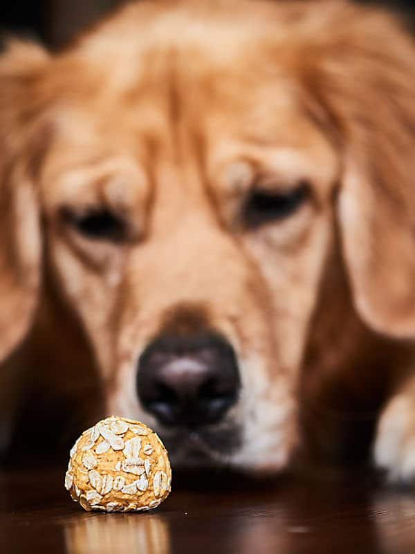 Golden retriever looking at homemade dog treat